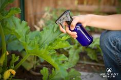 Do you have bugs or birds eating your garden produce this year? Try cookingup this garden spray and giving the leaves and surrounding ground a good spritzing. Before you know it, you will be on yo…