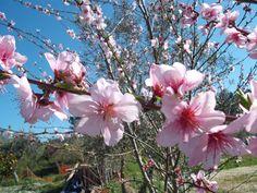 flor pessegueiro