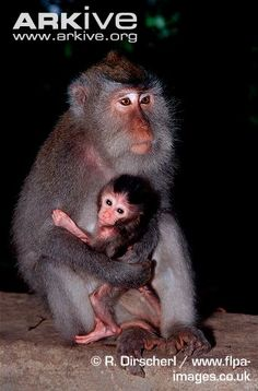 Female crab-eating macaque with young