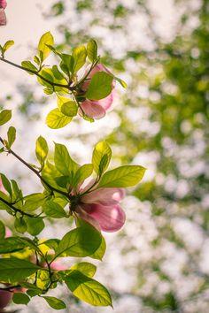 blooms-and-shrooms:    Magnolia (SMC Takumar 50mm... - ~*~My Pleasure~*~