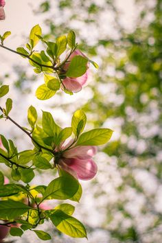 blooms-and-shrooms:   	Magnolia (SMC Takumar 50mm f/1.4) by Sorin Mutu    	Via Flickr: