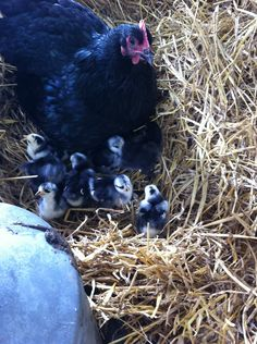 Chicken Love på Little Country Life.com. Aww. Look at those cute babies. So different from the grown up.