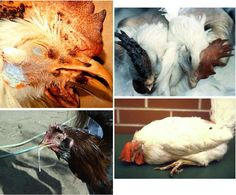 The Essentials For Keeping Chickens: Symptoms That Point to a Sick Chicken