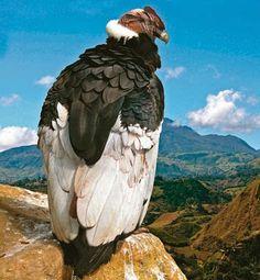Cóndor de los Andes (Vultur gryphus). Pertenece a la familia Cathartidae que habita en Sudamérica. Es el ave no marina de mayor envergadura delplaneta, llegando a alcanzar los 3,30 metros.