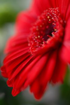 Deep Red Gerbera Daisy