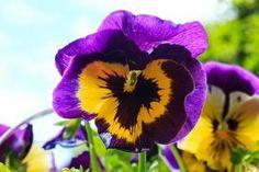 Viooltje in de mooie kleuren geel en paars.