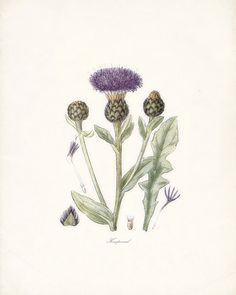 Thistle Flowers of the Americas Natural by HighStreetVintage, $14.00