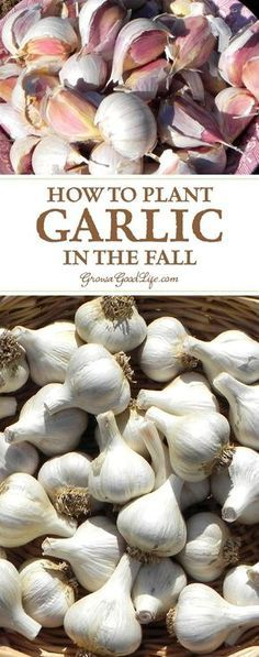 Garlic is one of the easiest crops you can grow in your garden. It is a long season crop with a unique growing pattern compared to other garden crops. Garlic is planted in fall in order to give it a head start and enough time to produce a larger bulb. Growing Herbs, Growing Vegetables, Gardening Vegetables, Fall Vegetables To Plant, Planter Ail, Organic Gardening, Gardening Tips, Gardening Gloves, Gardening Magazines