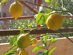 Lemon Tree Dropping Leaves: How To Prevent Lemon Tree Leaf Drop
