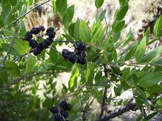 Coriaria myrtifolia - Emborrachacabras (Ojo venenosa) #plantas #forestales