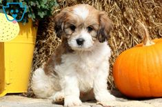 This lovely and very social Cavachon puppy will bring much joy to your life! He is vet checked, vaccinated, wormed and comes with a 1 year genetic health Puppies For Sale, Cute Puppies, Dogs And Puppies, Kitten Breeds, Puppy Breeds, Puppy Mix, Cavachon Puppies, Pet Dogs, Pets