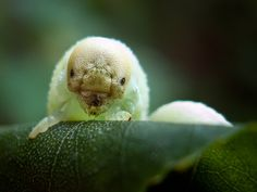 Caterpillar laughs in your face