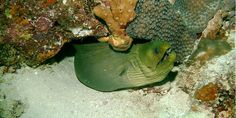 Pour la croissance des coraux il faut des nutriments... dont l'urine de poisson est très riche !