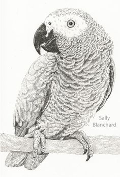 Sally Blanchard - Pen Drawing Congo African Grey Parrot Portrait