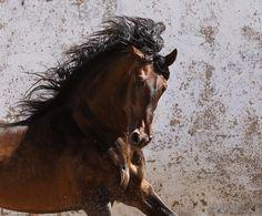 Lusitano stallion Judeu.jpg - Lusitano stallion Judeu enjoying moments of freedom