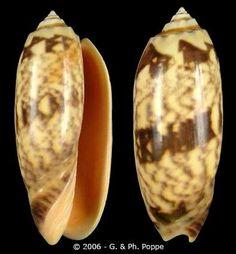 oliva shell   Oliva (Miniaceoliva) miniacea saturata (f)