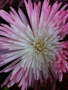 Spider Mums.    © Copyright Sharon L. Grace. All rights reserved