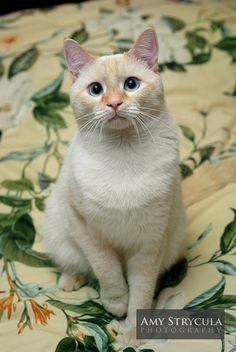 Flame Point Siamese... This is the type of cat that Loki is, and everyone wants to steal him. :-)