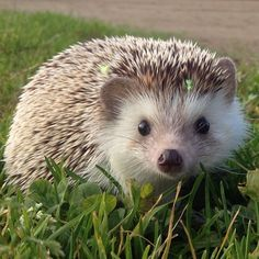 Spent a couple minutes at the local park yesterday! Pygmy Hedgehog, Cute Hedgehog, Amazing Animal Pictures, Cute Pictures, Local Parks, Cute Baby Animals, The Locals, Babys, Cute Babies