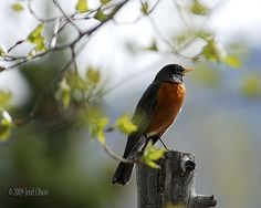 Robin on the Lookout - Over 1000 Views & 100 Faves - Thanks!