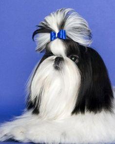 Dog hair bow shih tzu maltese yorkie dog show bow male boy dog hair bow