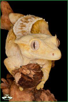 Rhacodactylus ciliatus, crested gecko.  Solero