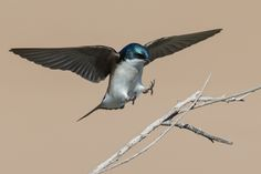 Tree swallow landing by Jose Chu on 500px