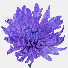 Purple Pastels Wedding Cremon Flower - 18 bunches