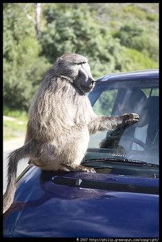 hahah Baboon, Cape Town, African, City, Fun, Image, Cities, Funny