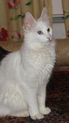 885d55bdf9 Can Cats Eat Peanut Butter. Cat ShelvesTurkish Van ...