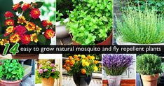 14 easy to grow plants to repel mosquito & fly away organically - Top 10 Plants - NurseryLive Wikipedia