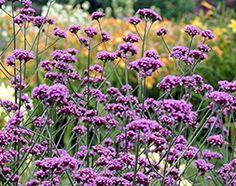 Verbena bonariensis  This elegant perennial has recently enjoyed a revival of interest.
