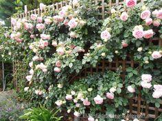 El jardín de la alegría : Como se podan los rosales trepadores.