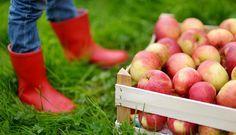 Wir feiern Erntedank: Basteln, kochen, spielen rund um Kartoffeln und Äpfel