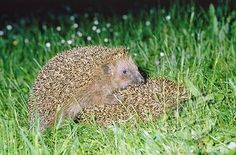 hedgehog mating