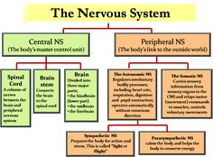 Diabetes And Peripheral Neuropathy Nervous System Anatomy