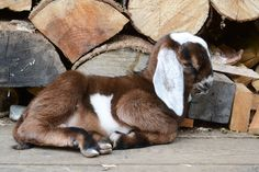 nubian goat kid ...can't wait to get my own little herd of these cuties!