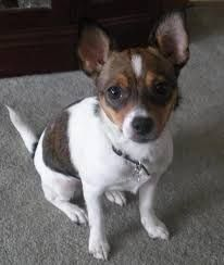 Image result for Chihuahua mix