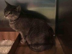 SAMANTHA - A1090015 - - Brooklyn   ***TO BE DESTROYED 09/28/16*** Poor Samantha was surrendered to the ACC due to biting. It could simply be her rough playing and not her being aggressive. As per previous owner, Samantha has lived with children ages 9 and up and was respectful of them and would sometimes play rough. Around strangers Samantha is shy for a few minutes but warms up quickly and she hasn't lived with other cats or dogs. Samantha doesn't like being brushed or