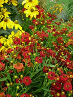List of late-summer perennial favorites and tips for creating the ultimate perennial garden that is in bloom for up to 6 months of the year. Pictured here are Rudbeckia (yellow) and Helenium (red).