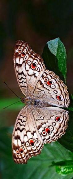 Grey Pansy butterfly (Junonia atlites) ༺ß༻