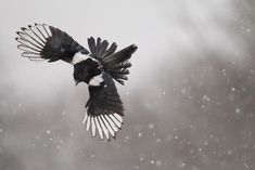 fairy-wren:  Black Billed Magpie. Photo by Phalalcrocorax