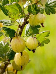 Gooseberry 'Hinnonmäki yellow' - Ribes uva-crispa 'Hinnonmäki yellow' Vegetables Photography, European Garden, Ornamental Plants, Fruit Art, India Beauty, Perennials, Yellow, Flowers, Beauty Women