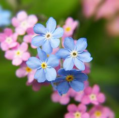 Forget me nots - love the colors here