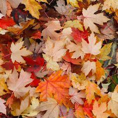 Autumn leaves  #autumn #autumnleaves #autumncolors #leafs #cathedralpark #portlandoregon #portlan #pnw #pnwonderland #pnwisbeautiful #details
