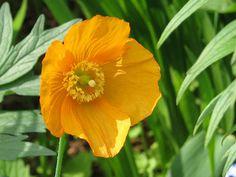 Poppy - Flickr - Photo Sharing!