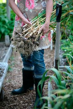 Story by Heather Cameron ; Photos by Janis Nicolay    It's Garlic time here at Missing Goat Farm . I had my friend Janis Nicolay  of Pineco...
