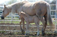 (1) Facebook Palomino, Horses, Mothers, Babies, Facebook, Animals, Babys, Baby, Infants