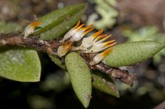 Bulbophyllum gadgarrense