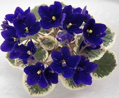 African Violet Plant Cajuns Blue Jean Queen Newly Introduced | eBay Cajun's Blue Jean Queen (10574) 01/11/2013 (B. Thibodeaux) Single-semidouble dark blue pansy/pink fantasy. Variegated medium green, cream and pink, plain, heart-shaped. Standard